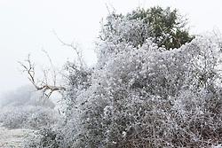 Hoar frost on seedheads of Travellers Joy, Old Man's Beard. Clematis vitalba