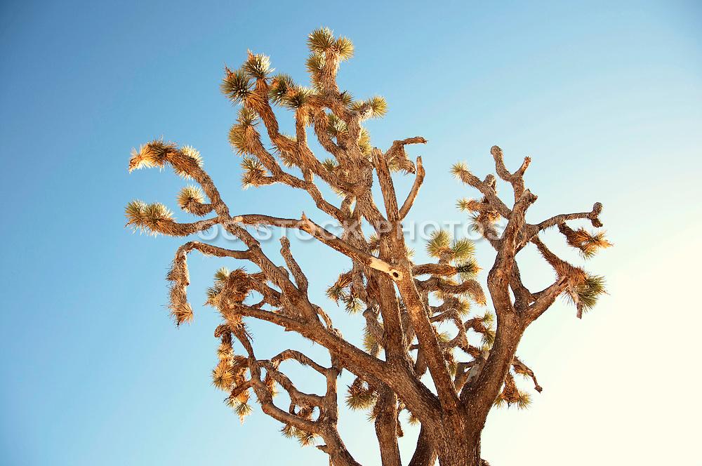 Cholla Cactus at Joshua Tree National Park