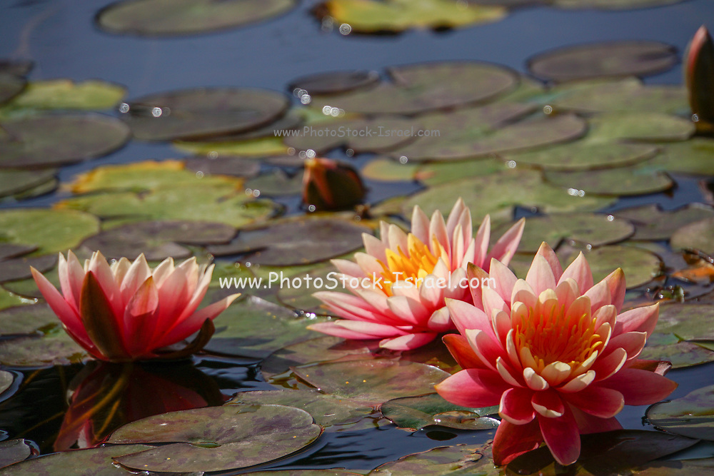 Orange water lily in a pond