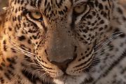 Leopard (Panthera pardus), Savute Channel, Linyanti, Botswana.