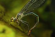 Banded Demoiselle (Calopteryx splendens) female is laying eggs underwater river north Germany | Gebänderte Prachtlibelle (Calopteryx splendens)  Weibchen bei der Eiablage unter Wasser auf einem Seerosenblatt. Das ganze Tier ist von einer metallisch glänzenden Luftschicht umgeben.
