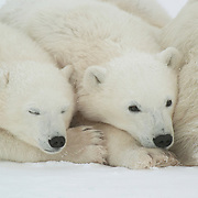 Polar bear (Ursus maritimus) cubs of the year waiting patiently near their mother for the ice to freeze at Cape Churchill, near Churchill, Manitoba, Canada.