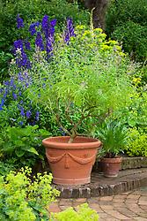Lemon verbena in a terracotta pots in Mrs Winthrops garden at Hidcote Manor. Aloysia triphylla AGM