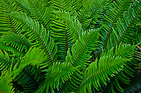 Western Sword Fern, (Polystichum munitum) Kitsap Peninsula, Puget Sound, Washington state, USA
