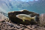 Smallmouth Bass (juvenile)<br /> <br /> Isaac Szabo/Engbretson Underwater Photography