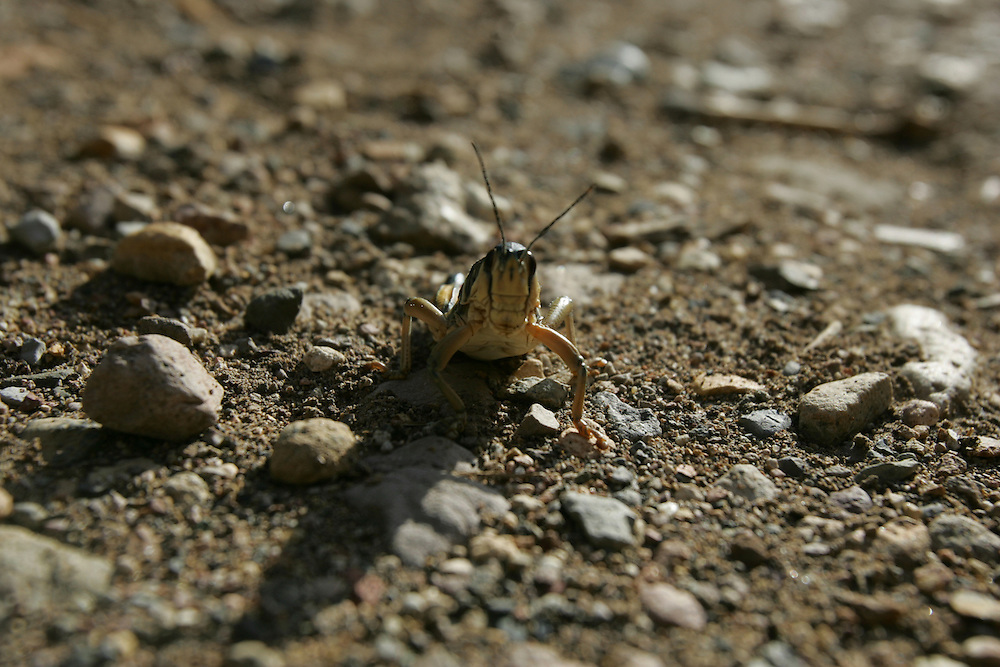 Grasshopper on the way to The Window, Big Bend National Park