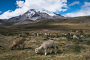 Chimborazo Volcano (Highest mountain in Ecuador) & Alpacas (Vicugna pacos)<br /> Andes<br /> ECUADOR, South America