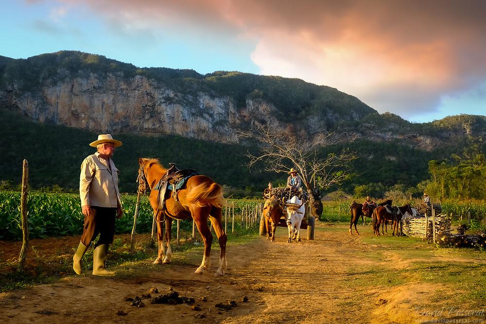 Cowboys farmers returning to tobacco plantation