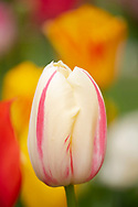 A pink and yellow tulip in the Keukenhof Gardens, Lisse, The Netherlands