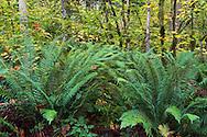 Sword Ferns (Polystichum munitum) at Campbell Valley Park in Langley, British Columbia, Canada