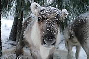 Young reindeer in snow.
