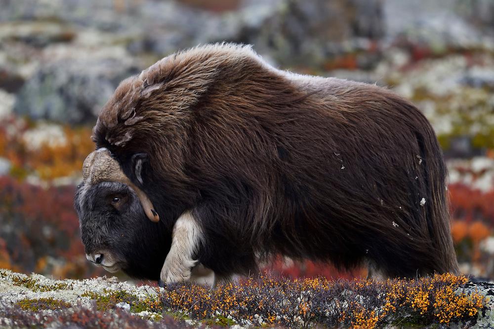 Muskox, Ovibos moschatus, Dovrefjell National Park, Norway