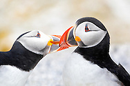 """Two Atlantic Puffins (Fratercula arctica) engage in social bonding by """"beaking"""" on Seal Island, Maine. Puffins were successfully reintroduced to the island through Audubon's Project Puffin."""