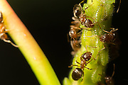 Ants collecting honeydew from aphids on chestnut sapling. Surrey, UK.