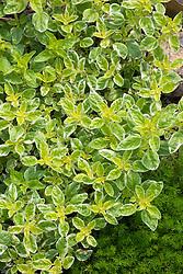 Oreganum vulgare 'Country Cream'. Oregano