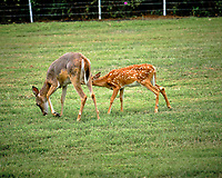 Doe with mange with fawn. Image taken with a Fuji X-T3 camera and 200 mm f/2 OIS lens (ISO 320, 200 mm, f/3.6, 1/950 sec).