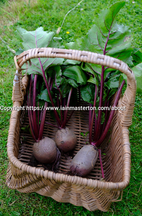 Freshly picked beetroot in basket at allotment garden