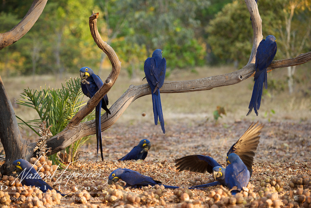 Hyacinth Macaw, feeding on palm nuts. Brazil