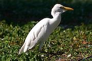 Cattle Egret, Bubulcus ibis ctre cigognes loutres hunawihr alsace france