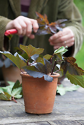 Taking cuttings from Physocarpus opulifolius 'Diabolo'. Placing around edge of pot.