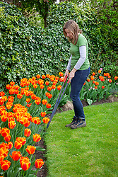 Cutting lawn edges with edging shears in spring