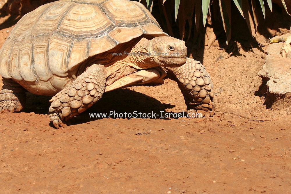 Aldabra Giant Tortoise (Geochelone gigantea), from the islands of the Aldabra Atoll in the Seychelles,