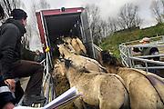 Nederland, Ooijpolder, 5-4-2007..26 Konikpaarden gaan op weg naar Letland om daar uitgezet te worden in natuurgebieden...De wilde paarden zijn in Nederland een succes. ..Stichting de Ark, die de dieren langs de oevers van de Waal beheerd laat overtollige dieren verplaatsen naar nieuwe gebieden. Oorspronkelijk een ras dat in Polen leeft, Przwalsky, en dus terug naar hun historische leefgebied...Foto: Flip Franssen/Hollandse Hoogte
