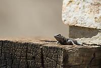 Western fence lizard, Sceloporus occidentalis.  Wildrose Canyon, Death Valley National Park, California