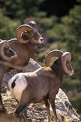 Three Bighorn Rams, Yellowstone National Park