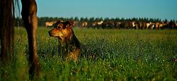 Peão e cachorro, juntos, irmanados nas lidas campeiras. O cão, fiel companheiro do homem do campo observa tropilha de cavalos nos campos da Argentina. FOTO: Eduardo Rocha/Preview.com