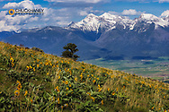 Arrowleaf balsomroot with Mission Mountains at the National Bison Range in Moiese, Montana, USA