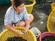 11 APRIL 2014 - PHANTHAI NORASING, SAMUT SAKHON, THAILAND: Workers sort fresh caught oysters in Phanthai Norasing, a fishing community in Samut Sakhon. Samut Sakhon is a coastal province southwest of Bangkok. It's known for its fishing and aquaculture industries but manufacturing companies are buying large plots of lands and building factories in the province, supplanting the traditional industries. A large number of Burmese migrants who work in the fishing and manufacturing sectors live in Samut Sakhon.      PHOTO BY JACK KURTZ