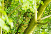 Lesser spotted woodpecker male (Dendrocopos minor) feeding chick at nest site. Surrey, UK.