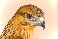 Hawk, Ksar Hadada, Tunisia