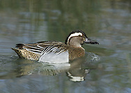 Garganey (male) Spatula querquedula. L 37-41cm. Teal-sized summer visitor to the region. Favours emergent wetland vegetation, hence unobtrusive. In flight, male shows pale blue-grey forewing and white-bordered greenish speculum; female's speculum is brown. Sexes are dissimilar. Adult male has reddish brown head and broad white stripe above and behind eye. Breast is brown but otherwise plumage is greyish, except for mottled buffish brown stern. In eclipse, resembles adult female but retains wing patterns. Adult female has mottled brown plumage; similar to female Teal but bill is uniform grey bill and has pale spot at base of bill. Juvenile resembles adult female. Voice Male utters diagnostic rattle. Status Scarce breeding bird but fairly widespread on migration.