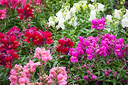 Antirrhinum Floral Showers. Snapdragon