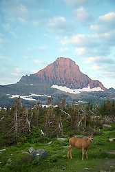 Reynolds Mounain and Mule Deer buck in velvet at Logan Pass in Glacier National Park at sunrise.