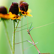 Stick insect climbing on Mexican Hat flowers in South Texas.