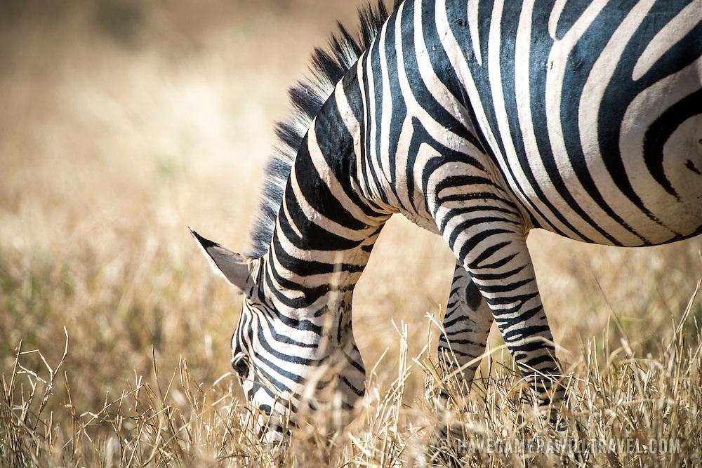 A zebra grazes at Tarangire National Park in northern Tanzania not far from Ngorongoro Crater and the Serengeti.