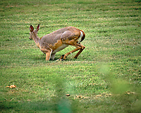 Doe with mange?. Image taken with a Fuji X-T3 camera and 200 mm f/2 OIS lens (ISO 320, 200 mm, f/3.6, 1/950 sec).