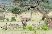 Africa, Tanzania, Serengeti National Park A herd of Zebras and an African Bush Elephant (Loxodonta africana)