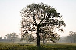 Oak tree in the grounds of Sissinghurst Castle