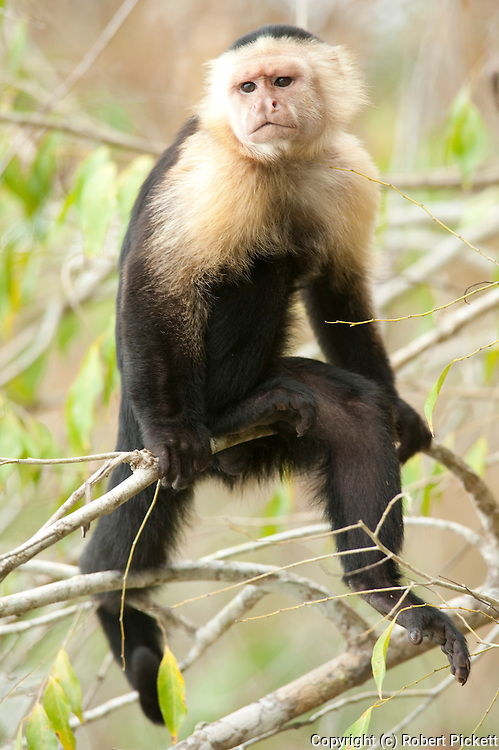 White Headed Capuchin, Cebus capucinus, Panama, Central America, Gamboa Reserve, Parque Nacional Soberania, sitting on branch, also known as the white-faced capuchin or white-throated capuchin, is a medium-sized New World monkey of the family Cebidae, subfamily Cebinae