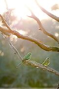Birds sitting on a branch in the morning, Gawler Ranges, South Australia, Australia