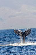 Humpback Whale, Megaptera novaeangliae, Tail Wave 1 of 8, Maui Hawaii