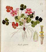 Woodsorrel (Oxalis speciosa). Illustration from 'Oxalis Monographia iconibus illustrata' by Nikolaus Joseph Jacquin (1797-1798). published 1794