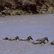 Burchell's Zebra, (Equus burchelli) Annual migration crossing Mara River. Masai Mara Game Reserve. Kenya. Africa.