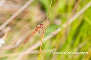 06666-00512 Autumn Meadowhawk (Sympetrum vicinum) male in wetland Marion Co. IL