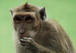 April 13, 2018 - Madiun, East Java, Indonesia - Monkey kra [Macaca fascicularis] long tail complete the mini zoo in Madiun. (Credit Image: © Ajun Ally/Pacific Press via ZUMA Wire)