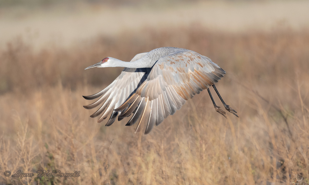 Time to appreciate the beautiful feathers of this Sandhill Crane, I love the muddy feet too.